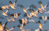 Snow Geese Flyout 20081211