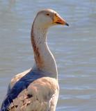 Goose Head 30708