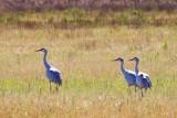 Sandhill Cranes 30761