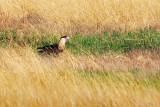 Crested Caracara On The Ground 31689