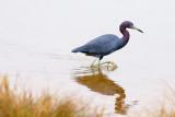 Little Blue Heron Hunting 31931