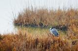 Heron In A Marsh 32425