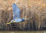 Heron In Flight 32166