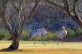 Sandhill Cranes 20081230