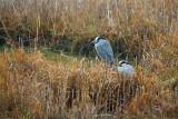 Yellow-crowned Night Herons 33457