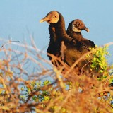 Black Vultures In A Treetop 34015