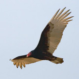 Turkey Vulture In Flight 35312