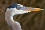 Heron Head 36024