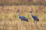 Sandhill Cranes 36258