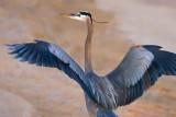 Heron On The Beach 36926