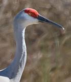 Sandhill Crane Profile 37290