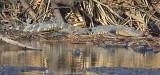 Jones Lake Alligators 37467