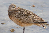 Resting Curlew 38528