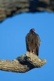 Roosting Vulture 20090131