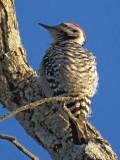 Ladder-backed Woodpecker 39325