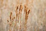Dry Grass 41103