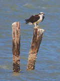 Osprey Perched On A Piling 40700