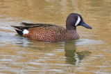 Blue-winged Teal 41972