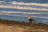 Caracara On The Beach 42865