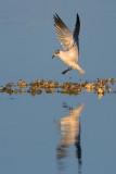 Gull Landing... (39167)