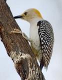 Golden-fronted Woodpecker 44367