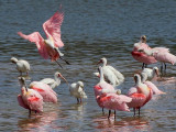 Incoming Spoonbill 45165