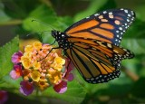 Monarch On Lantana 45057
