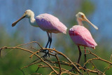 Two Spoonbills Atop A Tree 45090
