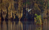 Egret Pair In Flight 20090319