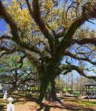 Evangeline Oak 45647-52