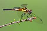 Dragonfly 45998