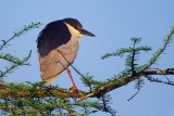 Heron On A Branch 45884