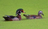 Wood Duck Pair 46781