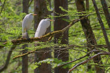 Two Perched Egrets 47333