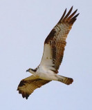 Osprey In Flight 47320