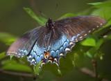 Swallowtail Butterfly 20090409
