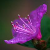 Wet Purple Flower 20090414