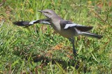 Mockingbird Taking Flight 47390