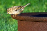 Sparrow On A Fire Ring 20090416