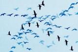Geese In Flight Overlay 47887-92