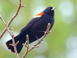 Red-winged Blackbird 48129
