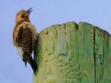 Flicker On A Pole 20090508