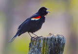 Red-winged Blackbird 48413
