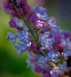 Lilac Closeup 48512