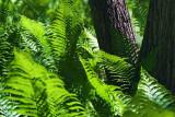 Forest Ferns 48917