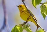 Yellow Warbler 48898