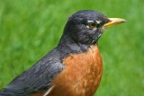 Robin Closeup 48956