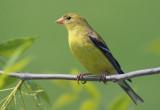 Goldfinch 49006