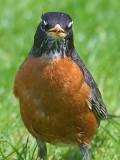 Robin Closeup 48954