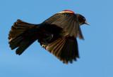 Red-winged Blackbird In Flight 00115